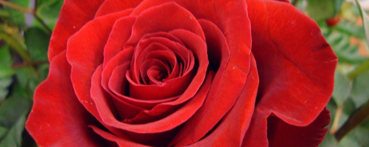 red rose-4